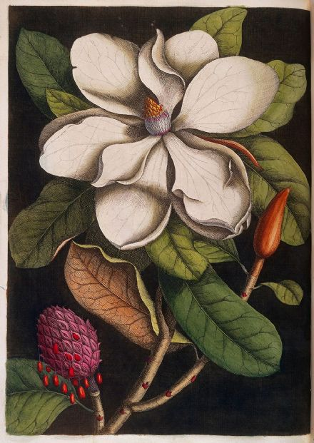 Catesby, Mark: White Magnolia Blossom and its Seed Pod. Fine Art Print/Poster (4751)